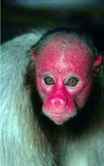 red-uakary-monkey.jpg
