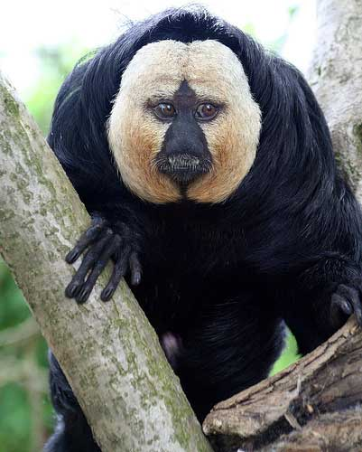 white-faced-saki-monkey.jpg