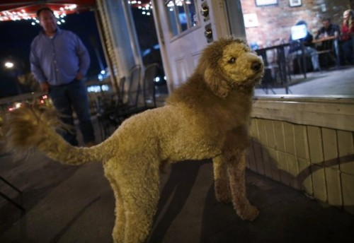 dp-norfolk-man-shaves-dog-to-look-like-lion-sc-001